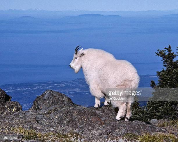 Chèvre de montagne sur Ridge