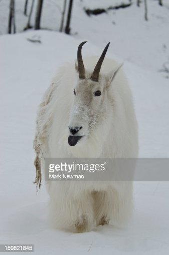 Mountain Goat with tongue out : Stock Photo