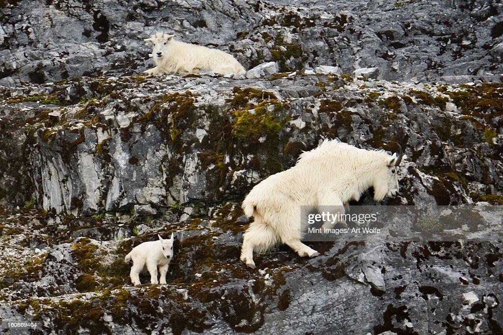 Mountain goats and kid, Glacier Bay National Park and Preserve, Alaska : Stock Photo