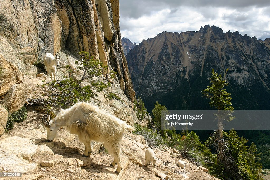 Mountain Goats in the North Cascades
