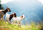 Group of white and brown goats on mountain pasture. Animals in natural environment.
