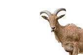 mountain goats looking at camera
