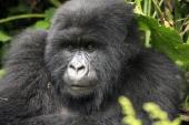 mountain gorilla in Parc des Volcans near the town of Musanze previously known as Ruhengeri near the Virunga Mountains Rwanda