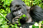 Mountain Silverback Gorilla  in Bwindi Impenetrable Forest