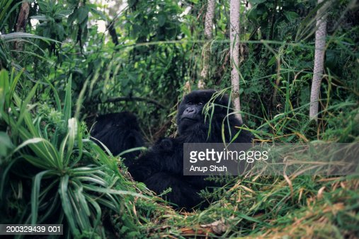 Mountain gorilla (Gorilla gorilla berengei) reclining amongst greenery, Park du Volcanes, Rwanda : Stock Photo