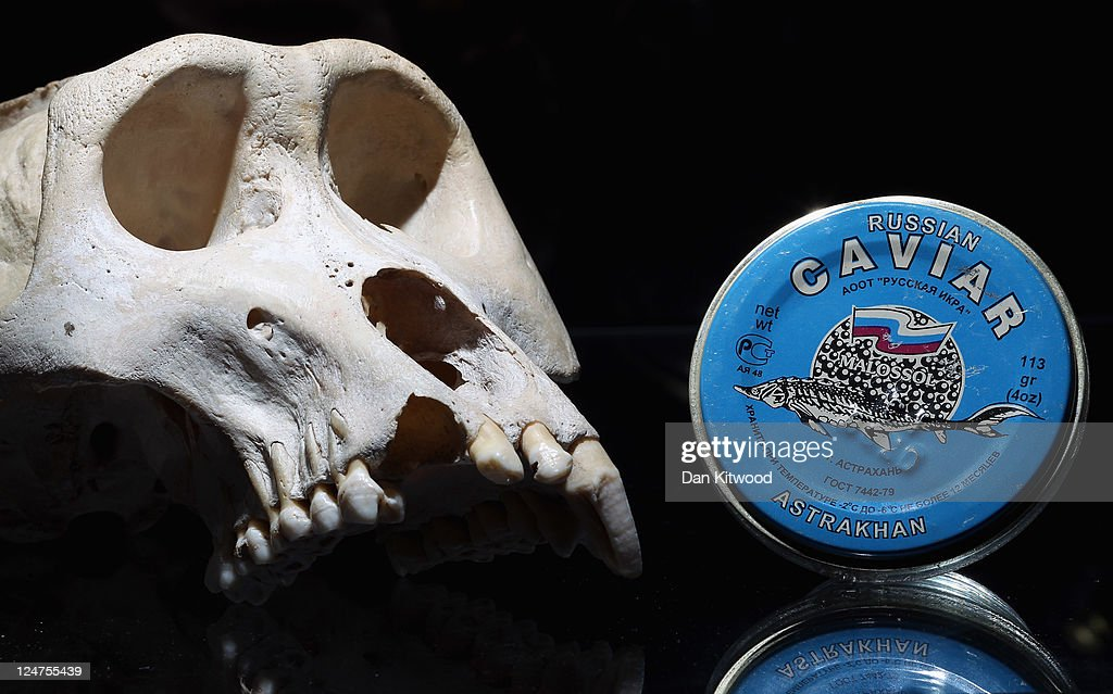A Mountain Gorilla skull and a pot of Russian Caviar are displayed at an 'Endangered Species' exhibition at London Zoo on September 12, 2011 in London, England. The exhibition is organised by 'Operation Charm', a Metropolitan Police partnership aimed at tackling the illegal trade in endangered wildlife and runs for one month at London Zoo. Items include a 10 week old stuffed Tiger cub, the tooth of a sperm whale, Ivory carvings, and a stuffed Tiger.