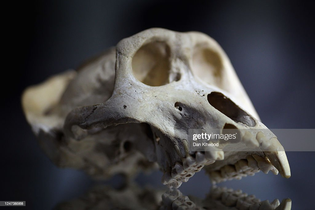 A Mountain Gorilla skull is displayed at an 'Endangered Species' exhibition at London Zoo on September 12, 2011 in London, England. The exhibition is organised by 'Operation Charm', a Metropolitan Police partnership aimed at tackling the illegal trade in endangered wildlife and runs for one month at London Zoo. Items include a 10 week old stuffed Tiger cub, the tooth of a sperm whale, Ivory carvings, and a stuffed Tiger.