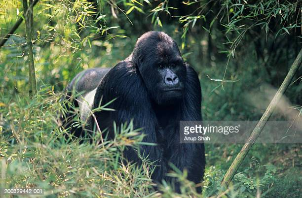 Mountain gorilla (Gorilla gorilla berengei) walking on all fours, Park du Volcanes, Rwanda