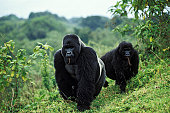 Mountain gorillas (Gorilla beringei), foraging, Virunga Nationalpark, Zaire