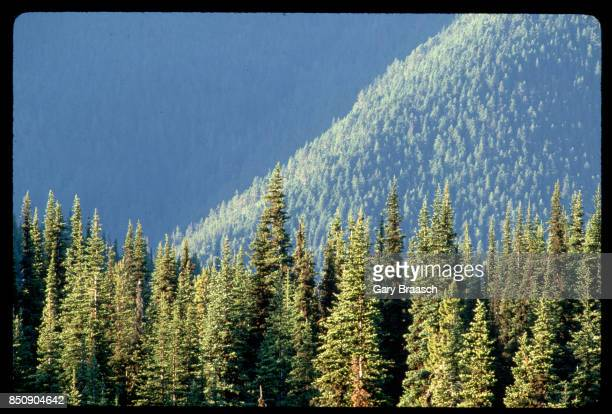 Mountain hemlock and other trees in a dense virgin forest covering the slopes of Blue Mountain in the Olympic National Park Washington