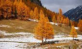 Autumn landscape in the Swiss Alps near Saint Moritz with beautiful yellow larches