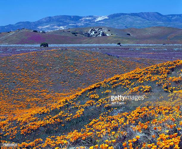 Mountain landscape with blooming California poppy flowers (Eschscholzia californica), Antelope Valley, California, USA