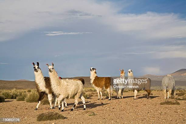 Mountain landscape with llamas (Lama glama) and Alpacas (Vicugna pacos) in national park Lauca on the way to national park Reserva Nacional Las Vicunas, Chile, South America