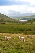 Mountain Landscape with Sheeps, Storey Arms, Brecon Beacons, South Wales, UKMountain Landscape with Sheeps, Storey Arms, Brecon Beacons, South Wales, UK