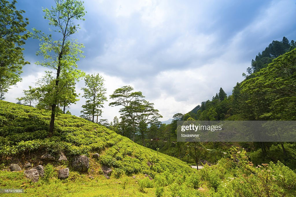 Mountain landscape with tea plantations : Stock Photo