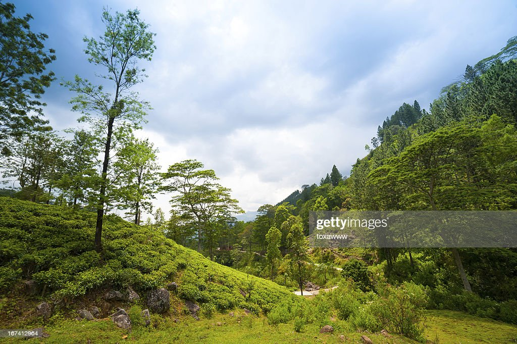 Berglandschaft mit Teeplantagen : Stock-Foto