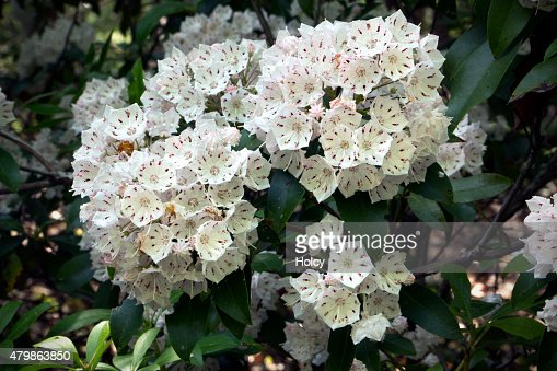 De Flores En La Montana: Laurel De Montaña Flores En La Primavera El Caso De La