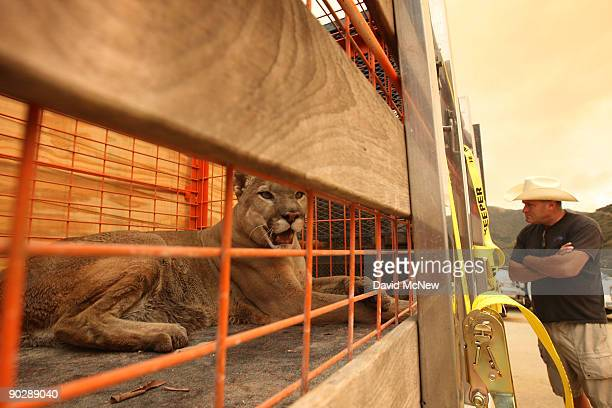 A mountain lion awaits transport in a cage aboard a truck as workers and volunteers evacuate animals from the Wildlife Waystation in Little Tujunga...