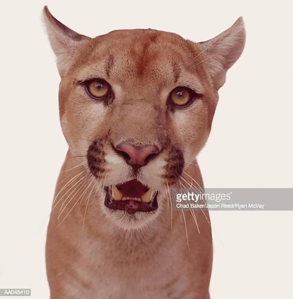 Mountain lion (Felis concolor), close-up