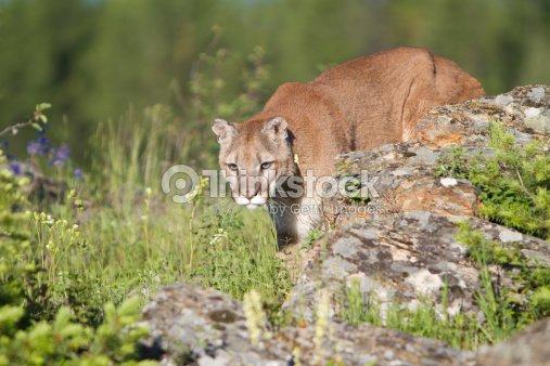 Mountain Lion Stock Photo - Thinkstock