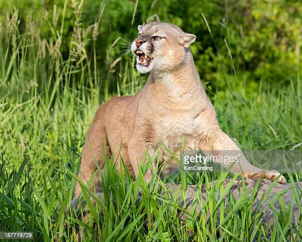 山のライオン