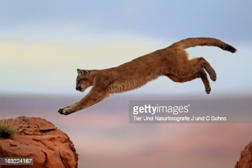 Mountain lion : Stockfoto