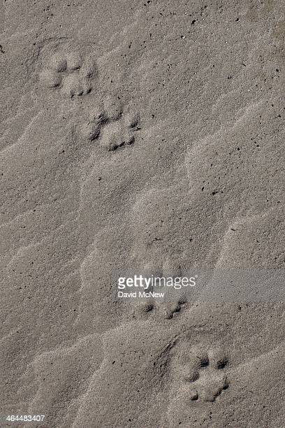 Mountain lion tracks lead across the dry upper reaches of San Gabriel Reservoir in the Angeles National Forest on January 22 2014 in near Azusa...