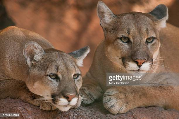 Mountain Lions, close up