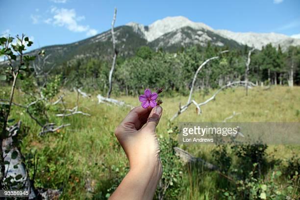 Mountain meadow with alpine flower