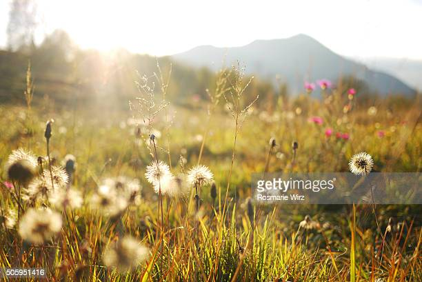 Mountain meadow with hawkweed seeds, low angle view.