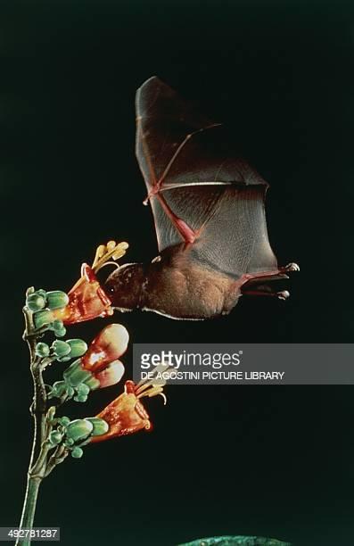Mountain Noctule Bat Vespertilionidae feeding on a flower's nectar
