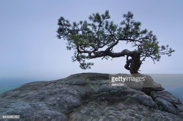 Mountain pine tree on Lilienstein table mountain with heavy fog in Elbe valley, Saxon Switzerland, Saxony, Germany