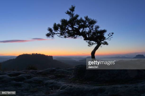 Mountain pine tree silhouetted against colorful evening sky, Papststein, Saxon Switzerland, Saxony, Germany