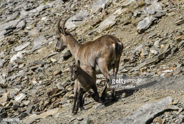 A mountain sheep and her cub climb on the famous 'Couloir du Goûter' known as the best way to climb atop the MontBlanc peak on August 27 in the...