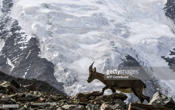 A mountain sheep climbs on the rocks near the Bionnassay glacier seen in the background on August 27 2017 on the MontBlanc range near SaintGervais...