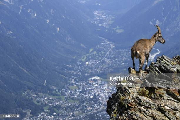 A mountain sheep stands on rocks above the Chamonix valley in the famous 'Couloir du Goûter' known as the best way to climb atop the MontBlanc peak...