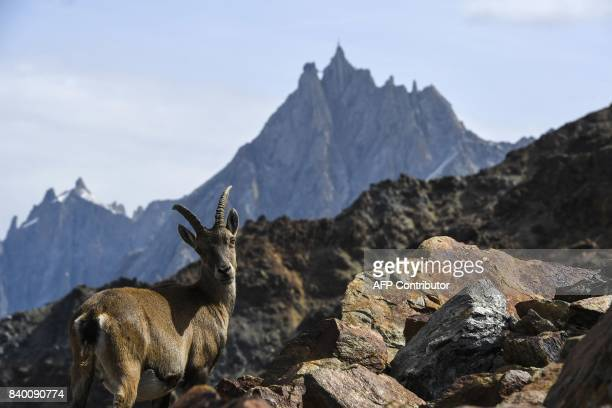 A mountain sheep stands on rocks near the Aiguille du Midi mountain seen in the background in the famous 'Couloir du Goûter' known as the best way to...