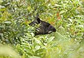 """Mountain Tapir (tapirus pinchaque) adult feeding in dense vegetation""""n""""nsouthern Ecuador                     February"""