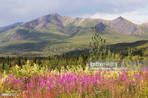 Mountain vista with fireweed in the foreground