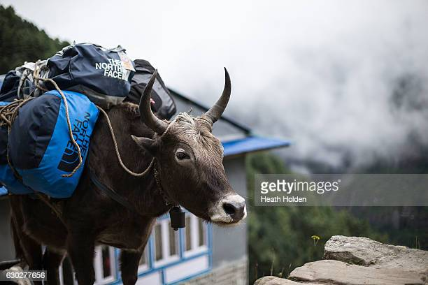 Mountain workers use a yak / cow hybrid called a Dzopkio or Zopkio on the trails in lower elevations on September 20 2016 in Namche Bazar Nepal The...