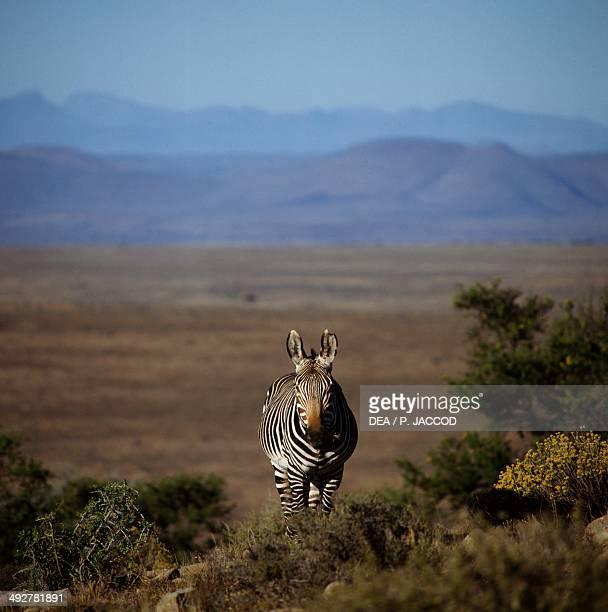 Mountain zebra Equidae