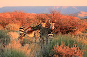 Mountain Zebra succulent karoo Augrabies plants sunset safari nature wildlife