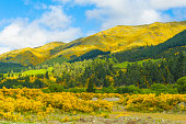 Beautiful mountains of New Zealand covered by blooming yellow gorse (Ulex europaeus). Panoramic photo