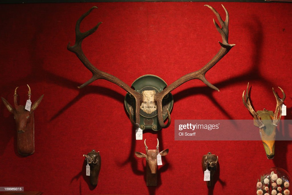 Mounted antlers and skulls are displayed in Bonhams auction house ahead of their forthcoming 'Gentleman's Library Sale' on January 24, 2013 in London, England. The auction includes an eclectic mix of rare items such as a pygmy hippo skeleton, a cigar that belonged to Winston Churchill and a MI9 spy catalogue. It will take place in Bonhams Knightsbridge on January 29 and 30, 2013.