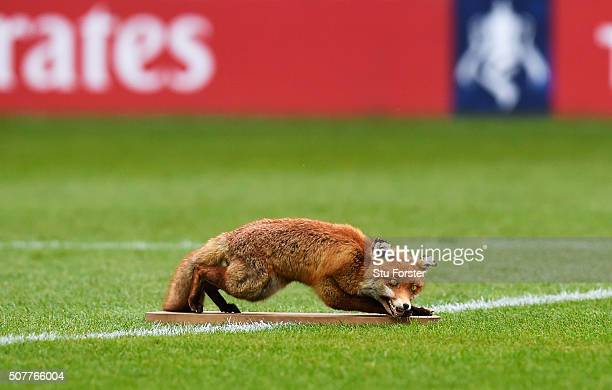 A mounted fox sits on the pitch prior to the Emirates FA Cup Fourth Round match between Carlisle United and Everton at Brunton Park on January 31...