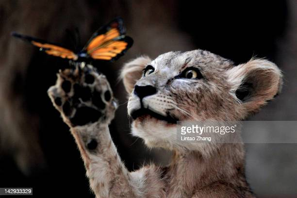 A mounted lion cub on display in the specimen pavilion on April 15th 2012 in Beijing China The National Zoological Museum of China opened to public...