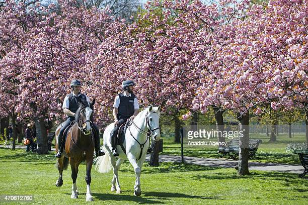 Mounted police officers patrolling under fully bloomed cherry blossom trees at Greenwich Park in London England as temperature hits 17 C on April 21...