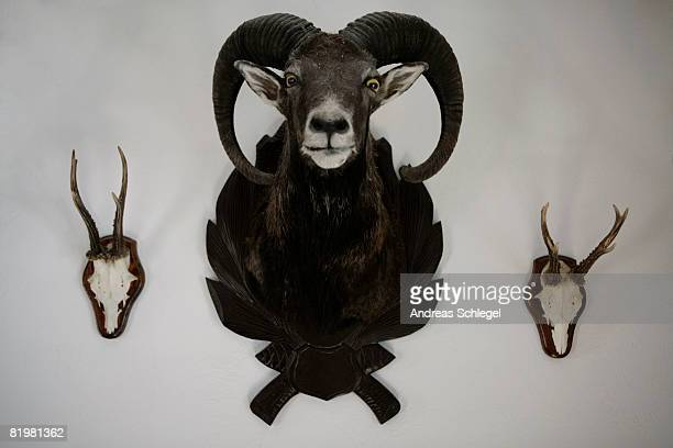 A mounted ram and two skulls with antlers