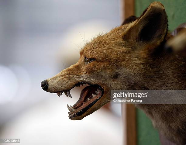 A mounted stuffed fox head is displayed on a stand during the Peterborough Festival of Hunting at the East of England Show Ground on July 21 2010 in...