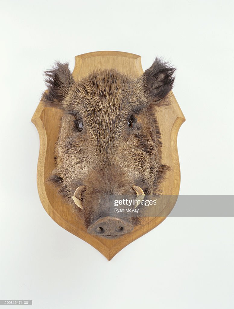 Mounted wild boars head, studio shot
